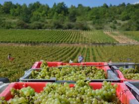 Vendange des Caillerets à Puligny Montrachet Maison d'hôtes proche vignoble Beaune